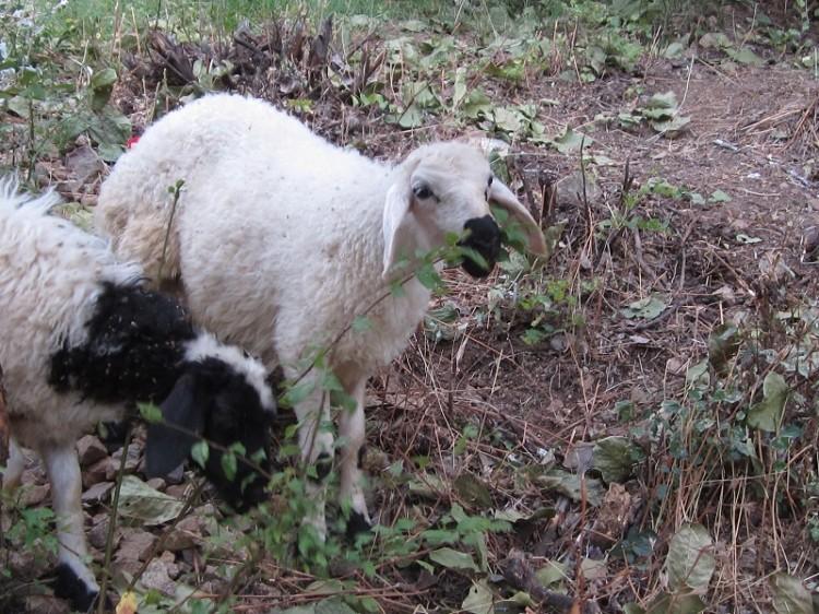 Schafsgeschichten