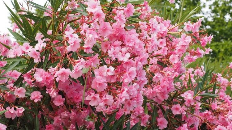 Oleander-19