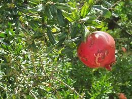 Granatapfel (kandil.de 2013)