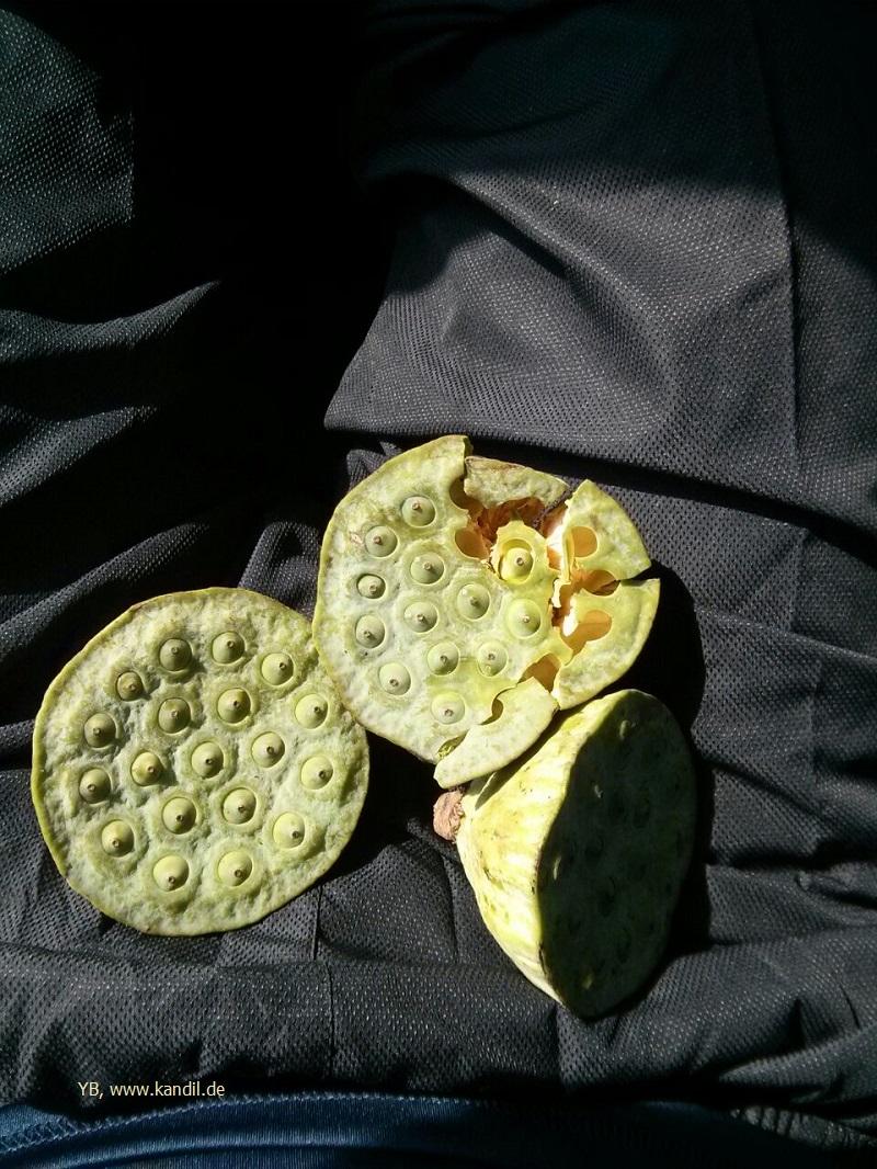eine Pistazienart, die nur in Gilan nördlich des Kaspischen Meeres wächst