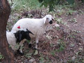 Schaf mit Boncuk
