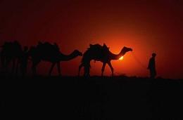arabische Kamele